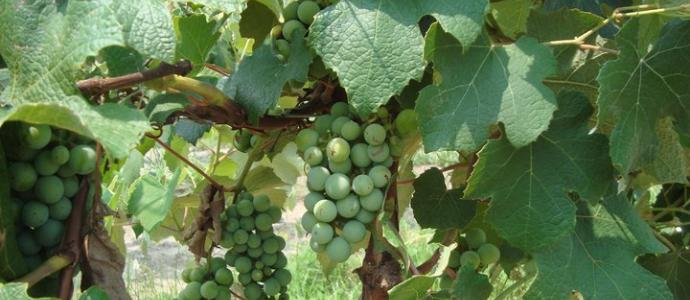 Fenwick Winery Grapevine
